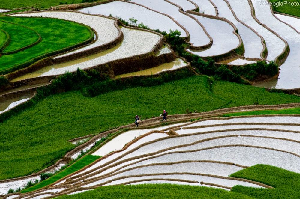 hình nền cánh đồng lúa ruộng bậc thang