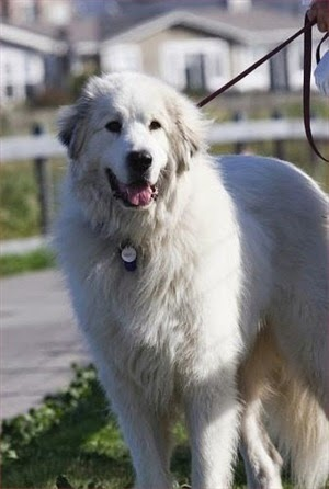 Great Pyrenees Origin: France / Spain Colors: White with markings Size: Extra large Type of Owner: Experienced Exercise: Moderate Grooming: Regular Trainability: Somewhat difficult to train Combativeness: Tends to be fairly dog aggressive Dominance: High Noise: Likes to bark