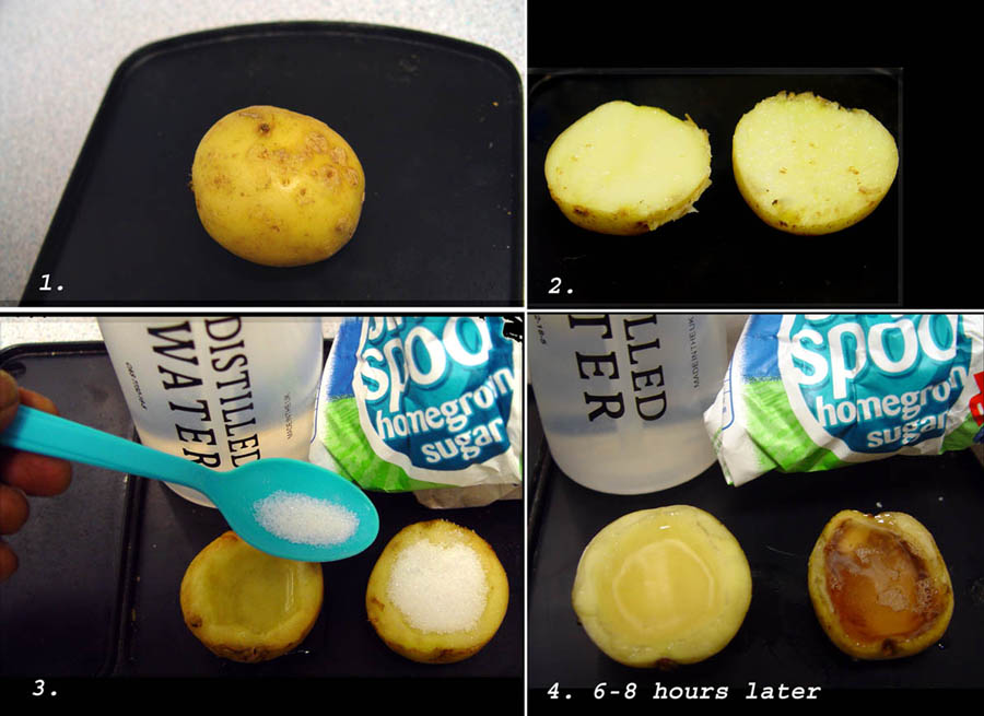 Osmosis in Potato Cells Experiment http://asciencevideo.blogspot.com/2011/12/osmosis-potato-experiment.html