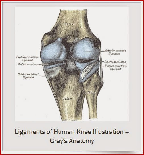 Ligaments of Human Knee Illustration Gray's Anatomy