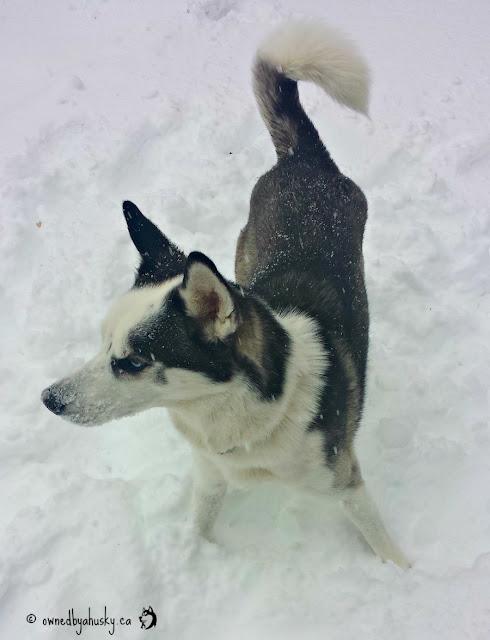 snowdog huskies