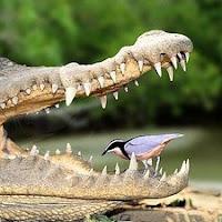simbiosis entre el chorlito egipcio y el cocodrilo