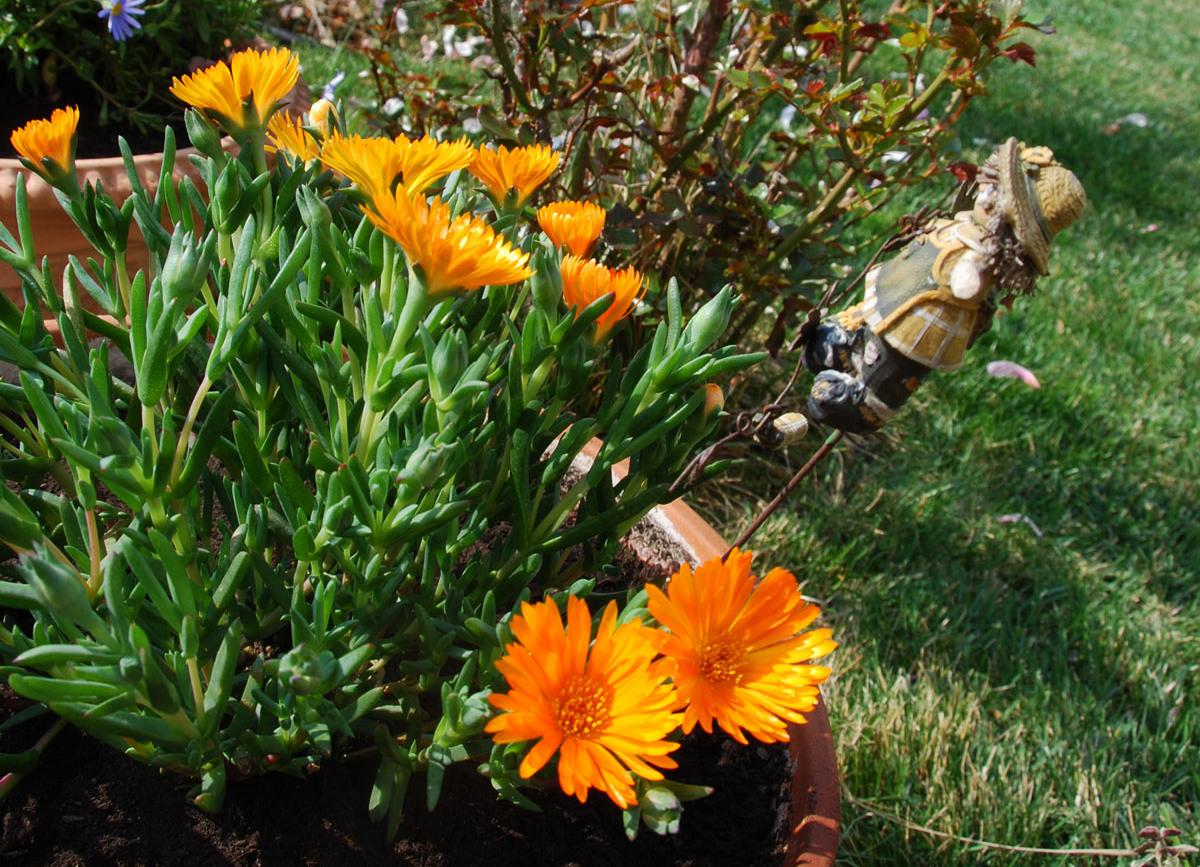 Il mondo in un giardino lavanda inglese margherita for Margherita pianta