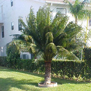 Sago palms are plants like grow in pots