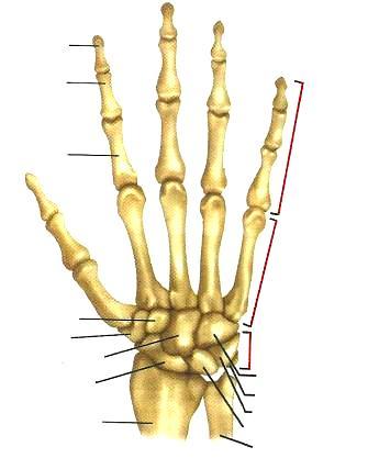 Huesos de la mano para colocar nombres de sus partes (Dorsal derecha)
