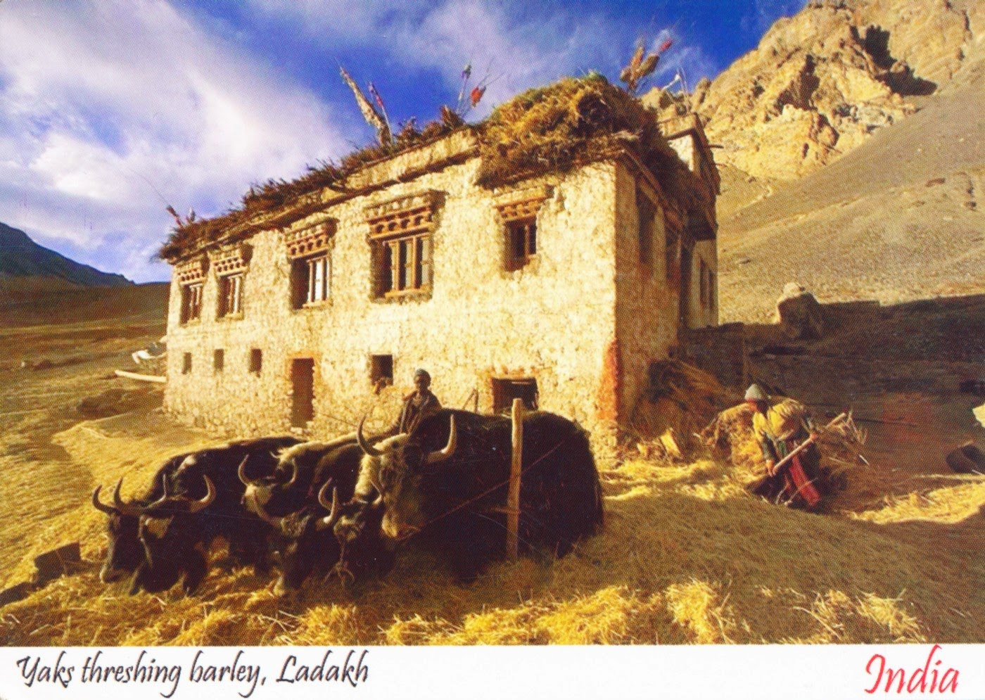 postcard, india, yaks, barley