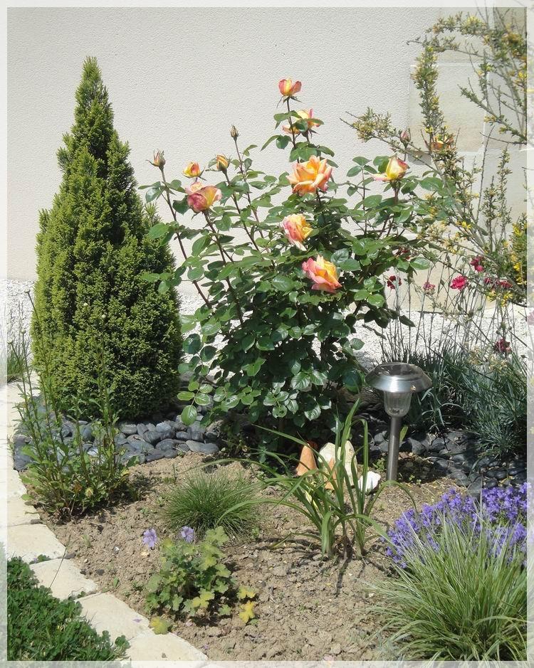 Cocoon garden mon premier rosier for Massif entree maison