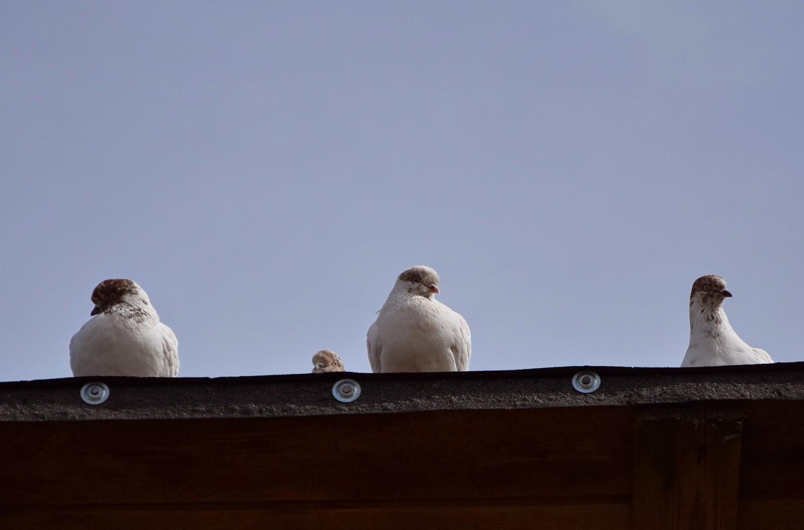 gołębie śmieszne