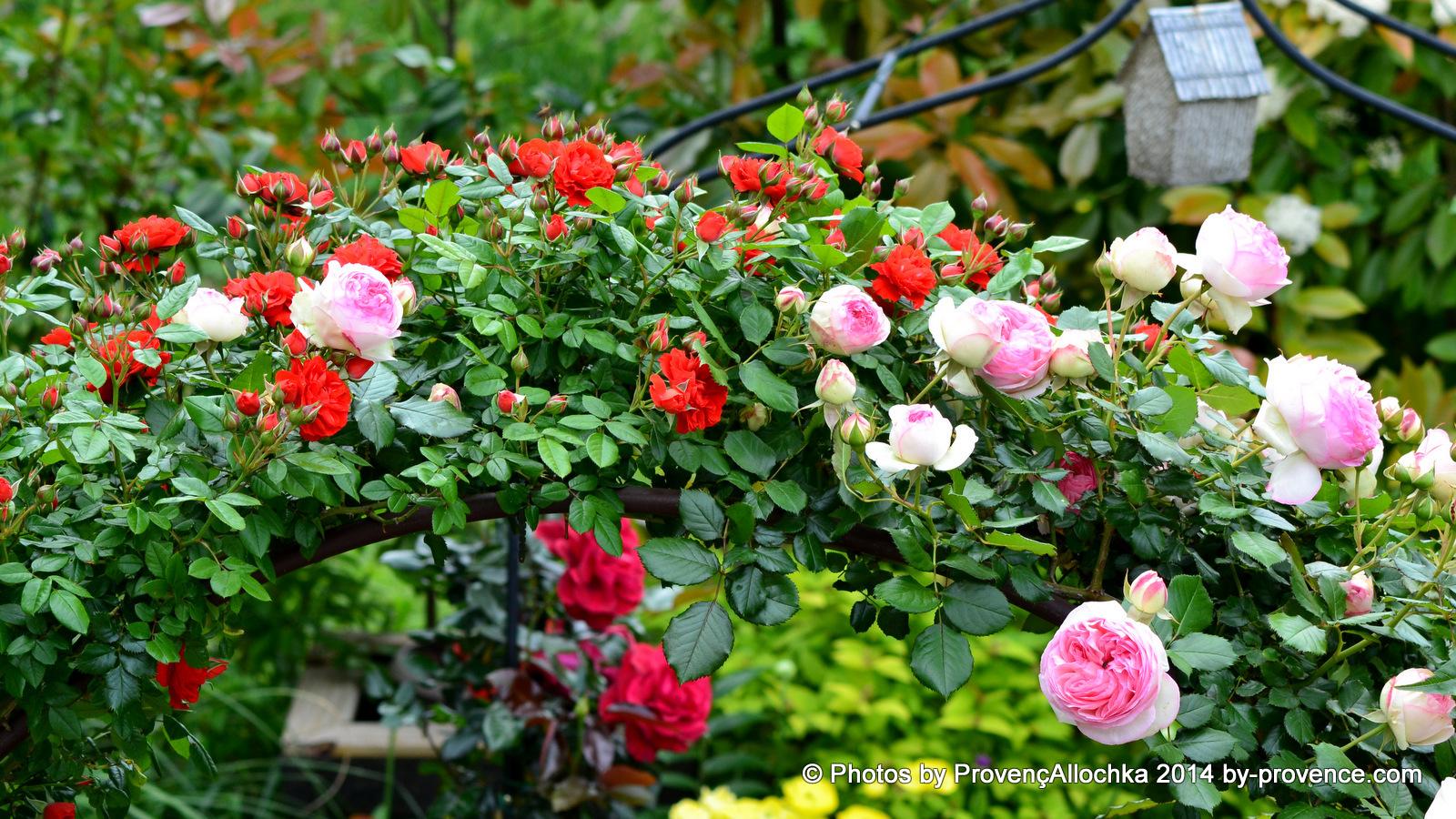 rose, grimpant, Pierre ,de Ronsard,maison