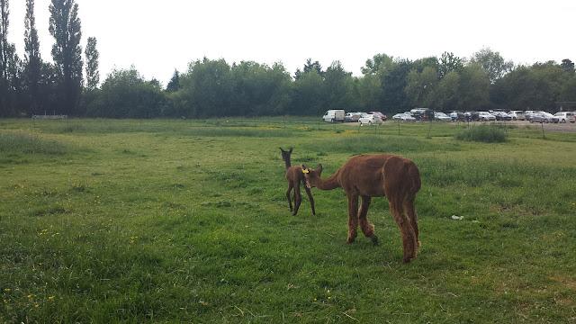 Baby alpaca in field with mum, Havana of Purl Alpaca Designs.