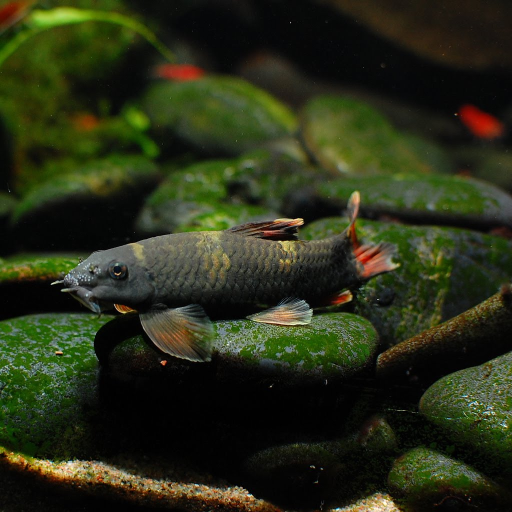 Freshwater aquarium fish exotic - Panda Garra Garra Flavatra Profile Exotic Tropical Ornamental Fish Photos With Names Fish Secrets