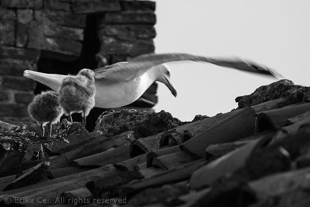 Seagulls Trieste
