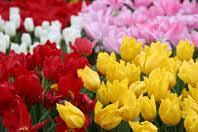 Tulips!!