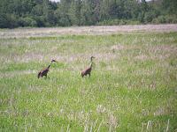 Breeding Sandhill Cranes