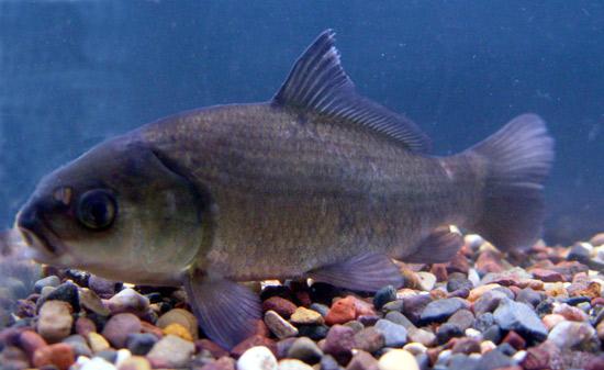 Bigmouth buffalo aquatic animals for What is a buffalo fish