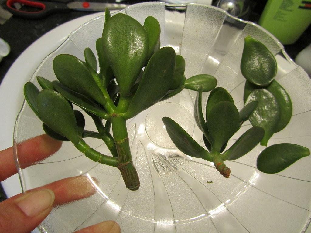Arte y jardiner a t cnicas de la reproducci n por esquejes for Planta ornamental que se reproduzca por esquejes