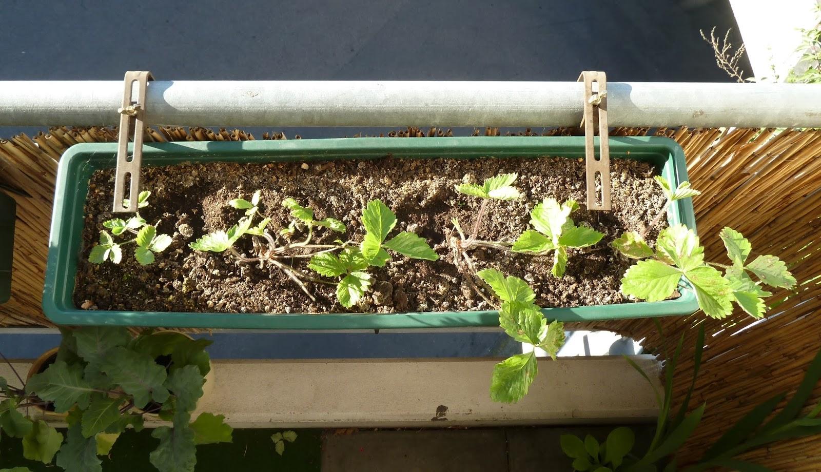 gem se naschen erdbeeren ernte bei den lteren erste bl ten bei den neueren pflanzen. Black Bedroom Furniture Sets. Home Design Ideas