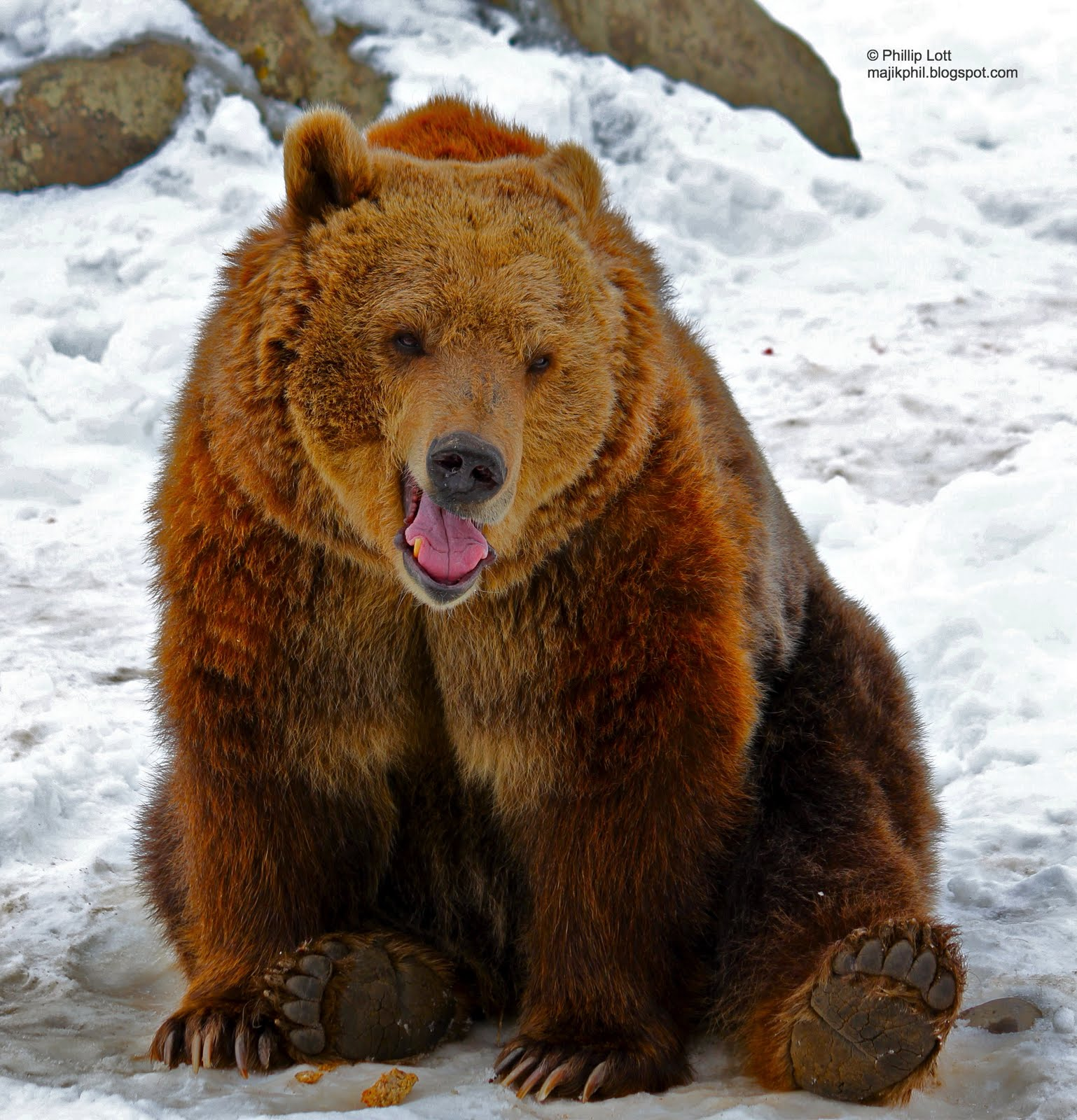 grizzly bears Learn the secrets of black and grizzly bear safety test your bear knowledge before you head out learn seasonal feeding preferences, identification tools, and tips for safe travel in bear.