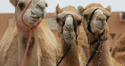Irtiqa The Problem Of Camels In The Book Of Genesis