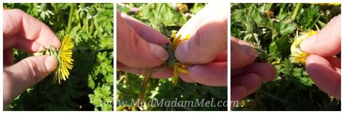 top tips for harvesting dandelion flowers