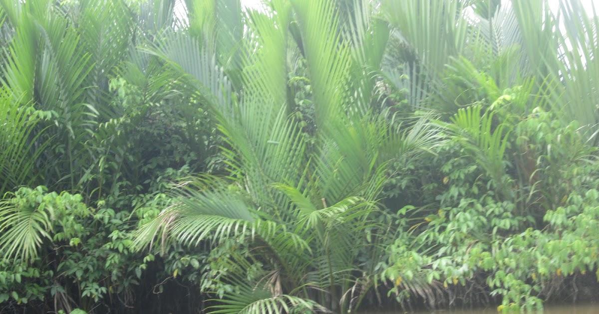 Kebun Nipah Potensi Besar Pohon Nipah Yang Masih Terpinggirkan