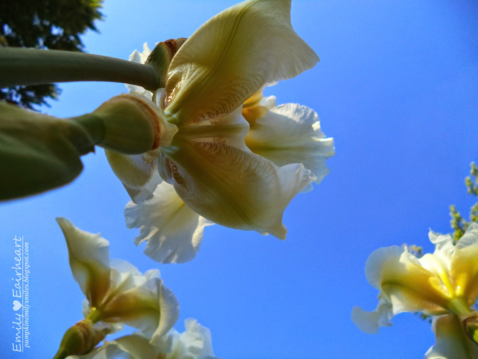 White Irises view from the bottom.