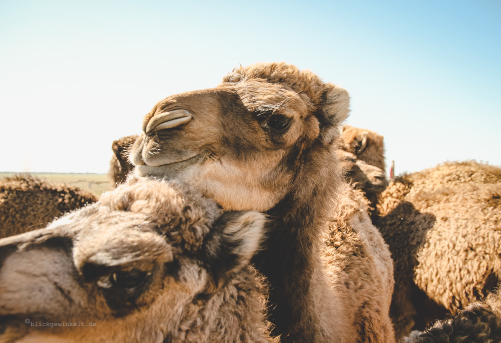 neugierige Kameljungen