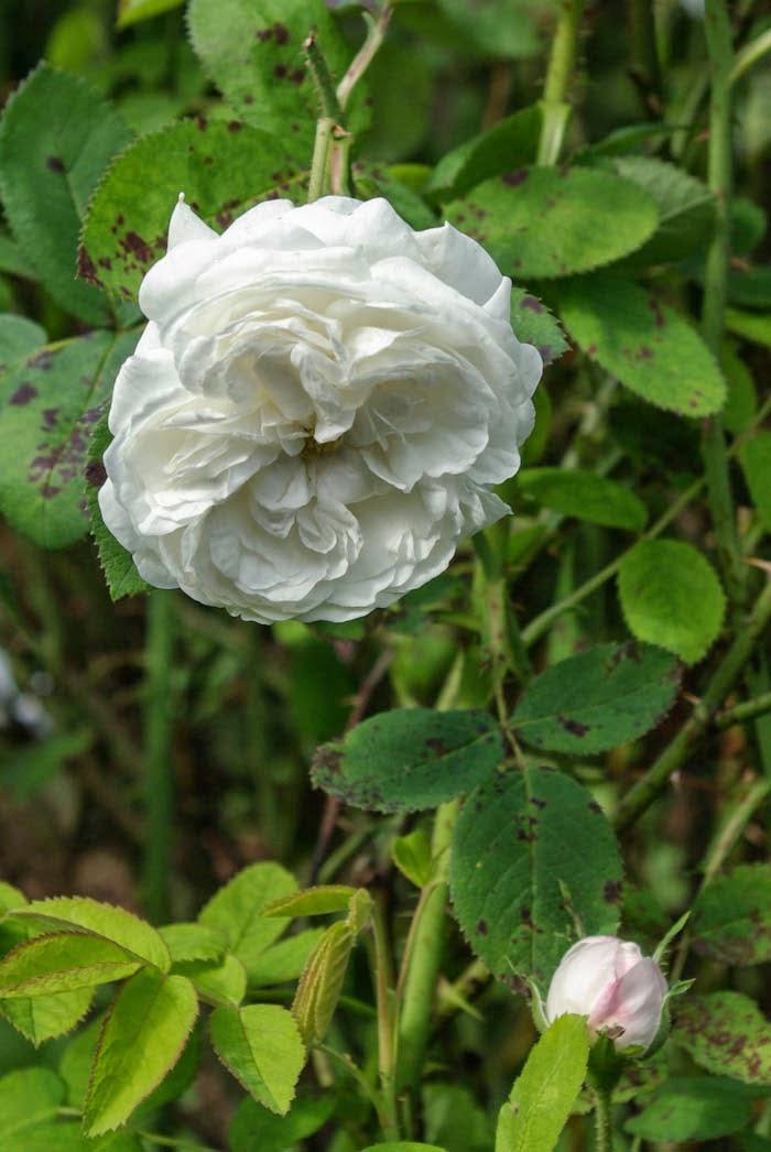 rudolfs park historischer rosen rosen der woche sonntag 17 august 2014. Black Bedroom Furniture Sets. Home Design Ideas