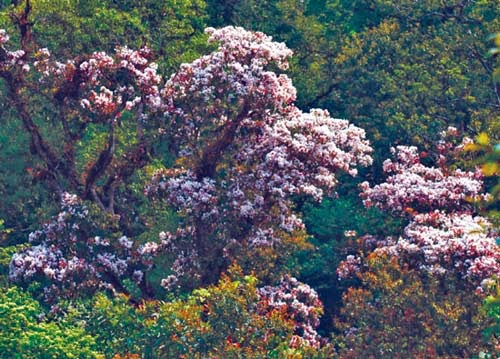 hoa đỗ quyên nở trên núi rừng Hoàng Liên
