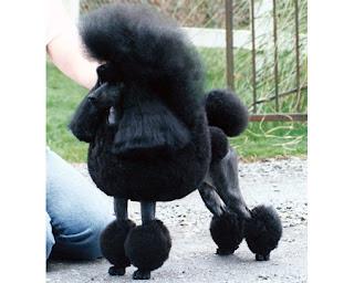 shaved poodle
