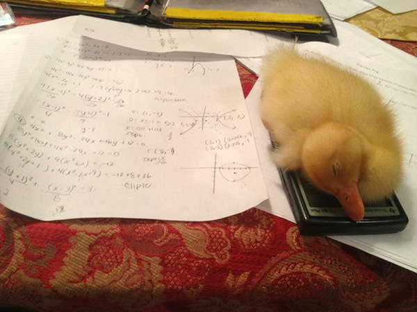 Funny animals of the week - 31 January 2014 (40 pics), baby duck sleeps on calculator