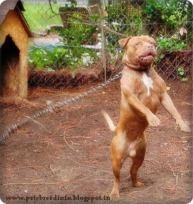 Australian Terrier Breed Information To Download Australian Terrier ...
