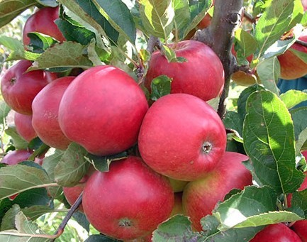 Canada Floral Delivery Blog The History Of The Apple Tree
