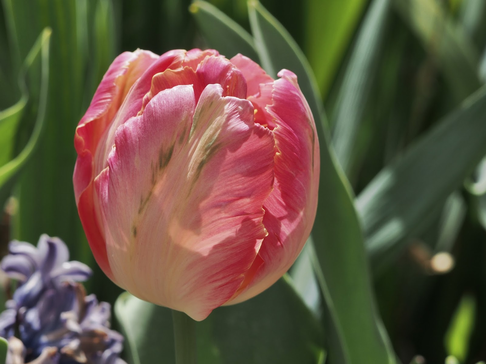 Dreaming of Parrot Tulips #tulips #conservatorygarden #centralpark #nyc ©2014 Nancy Lundebjerg