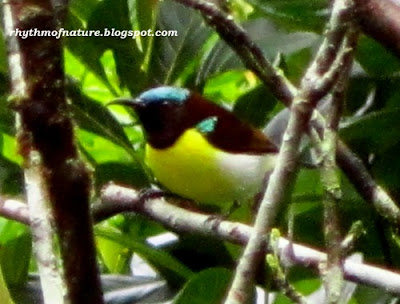 Purple Rumped Sunbird - Male ( Scientific name : Leptocoma zeylonica )