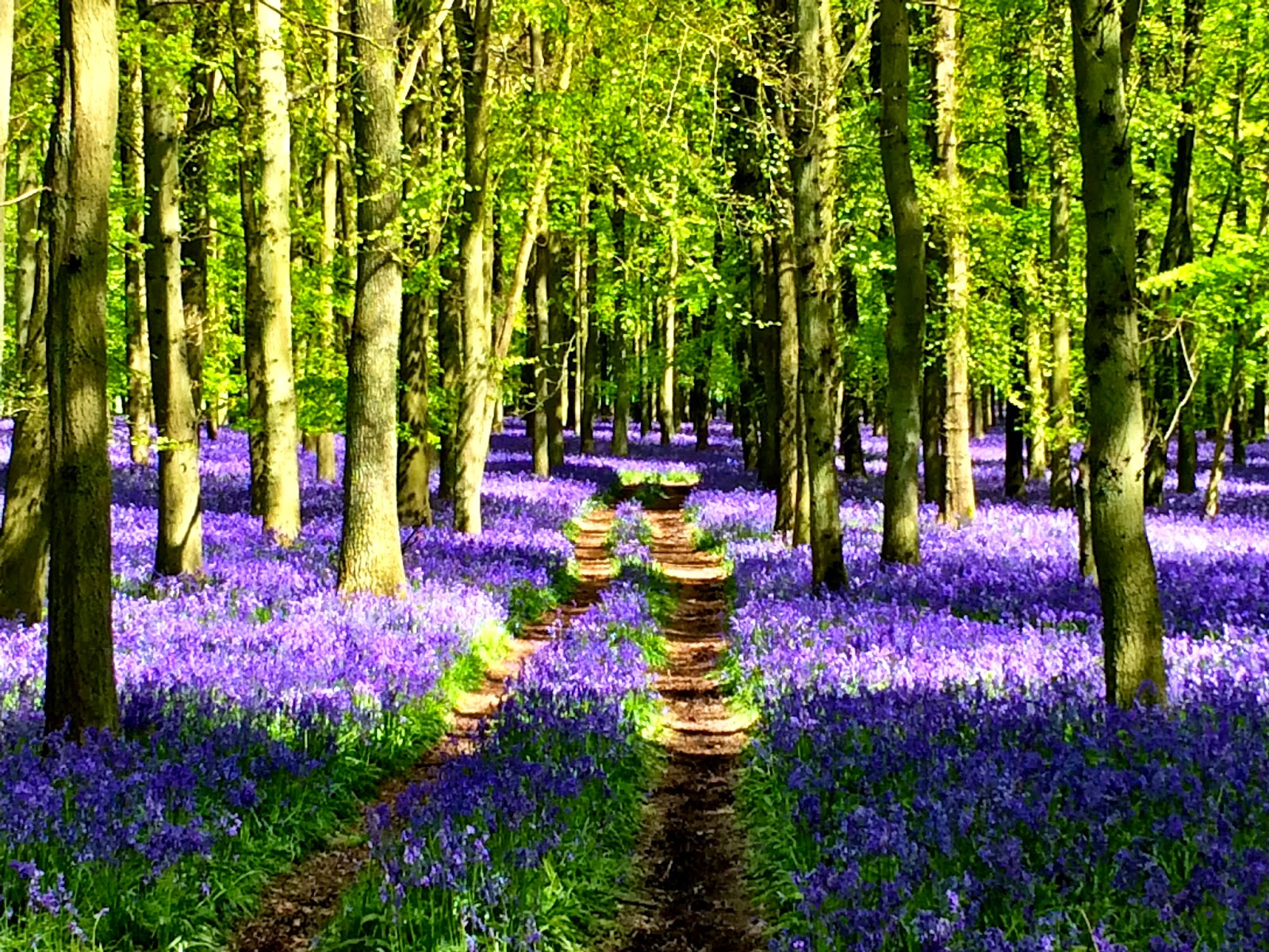 Bluebell Wood - Dockey, Ashridge Estate