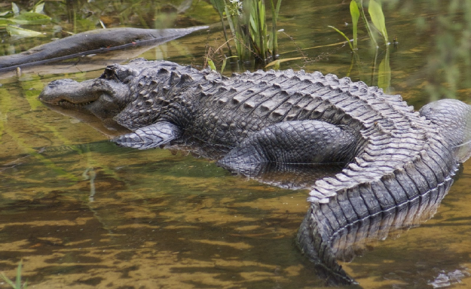 How to Draw Animals Crocodiles Alligators Caimans and