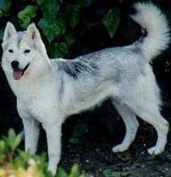 Foto Anjing Siberian Husky Copper