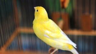 Burung Kenari - Solusi Penangkaran Burung Kenari -  Kode Ring Kenari Import Pada Negara Chyprus