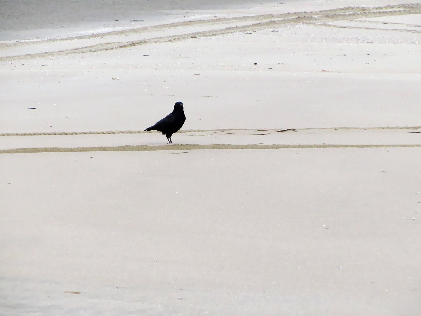 black crow on the beach