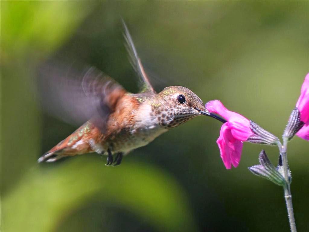ảnh chim hút mật đẹp