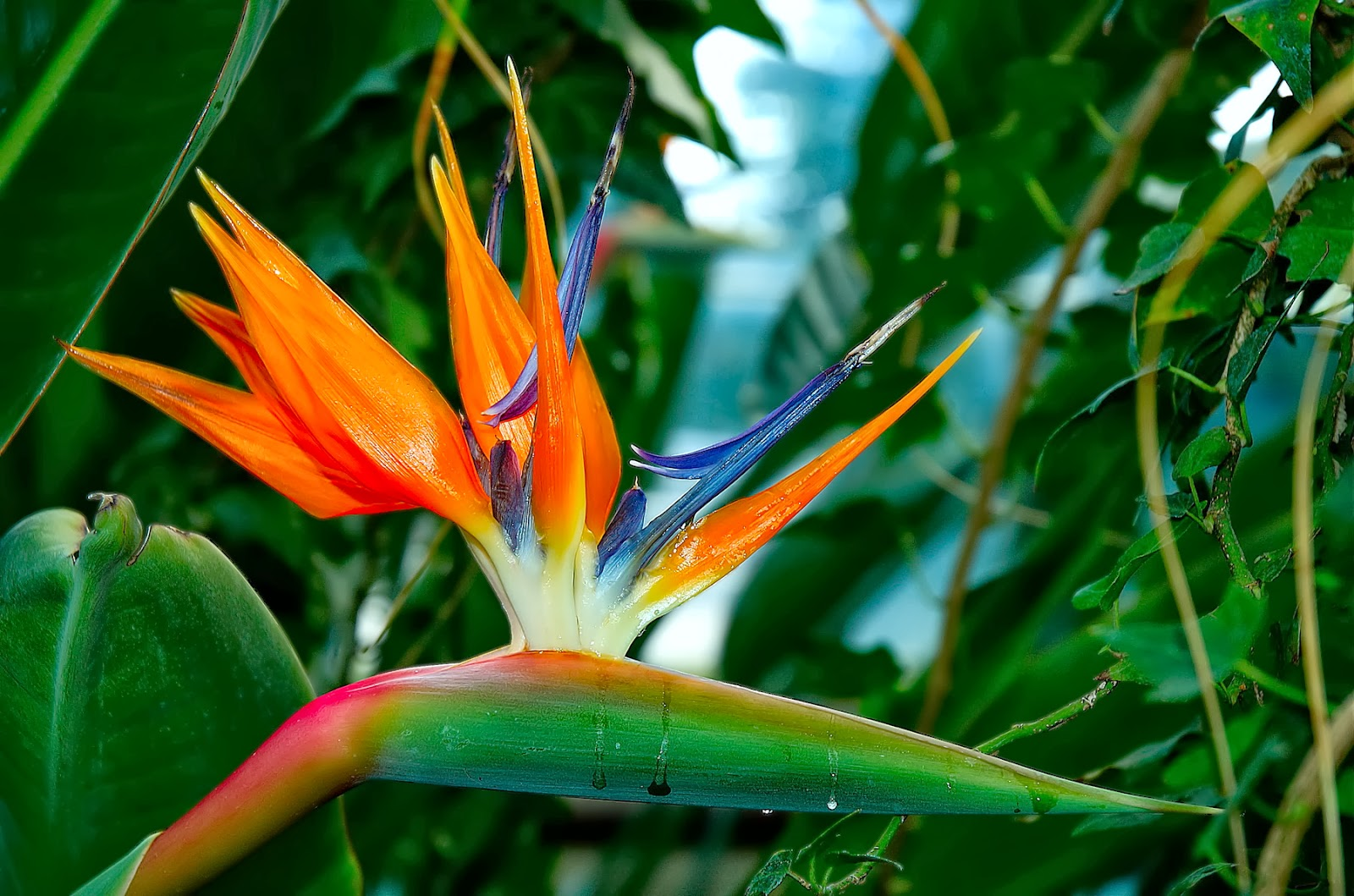 Bird Of Paradise HD Wallpapers Backgrounds Wallpaper