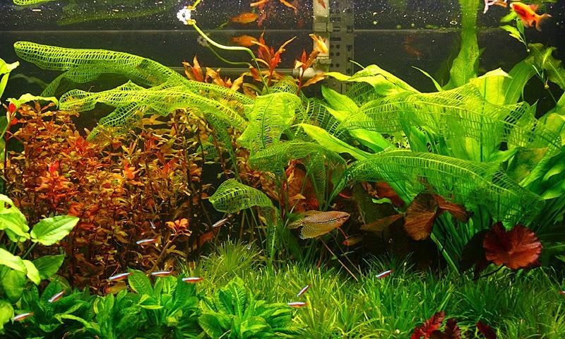 Peces y plantas ornamentales aponogeton madagascarensis for Acuarios ornamentales