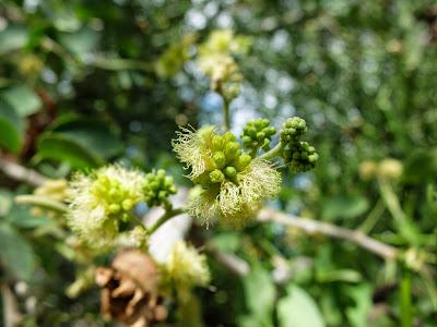 Guacmuchil (Pithecellobium dulce) flowers