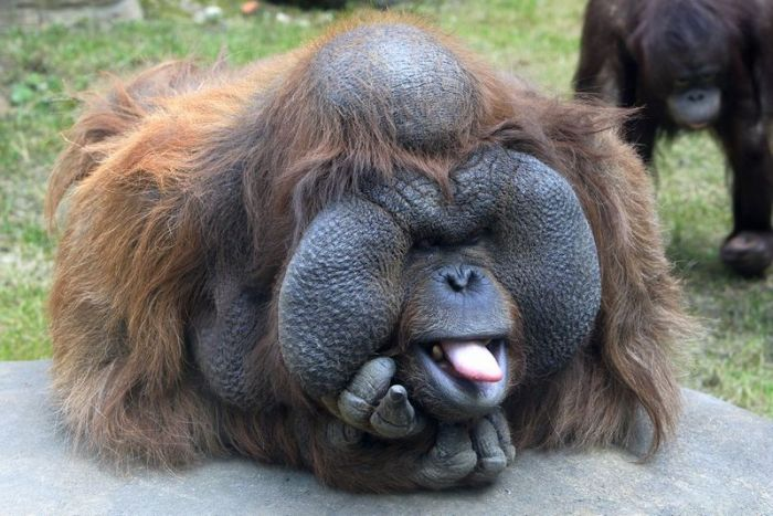 all funny cute cool and amazing animals funny orangutan images and
