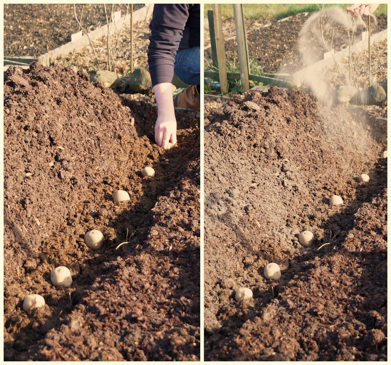 planting rows of potatoes ~ growourown.blogspot.com
