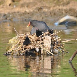 moorhen with chicks in nest