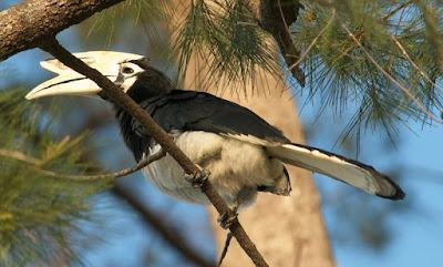 Oriental Pied Hornbill (Anthracoceros albirostris)