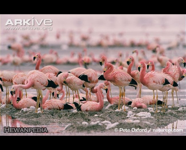Burung+Flamingo+3 rappets.com