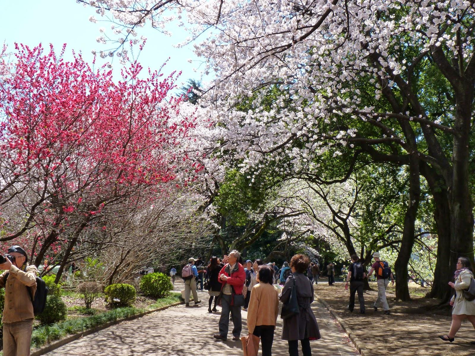 As Cerejeiras no Japão